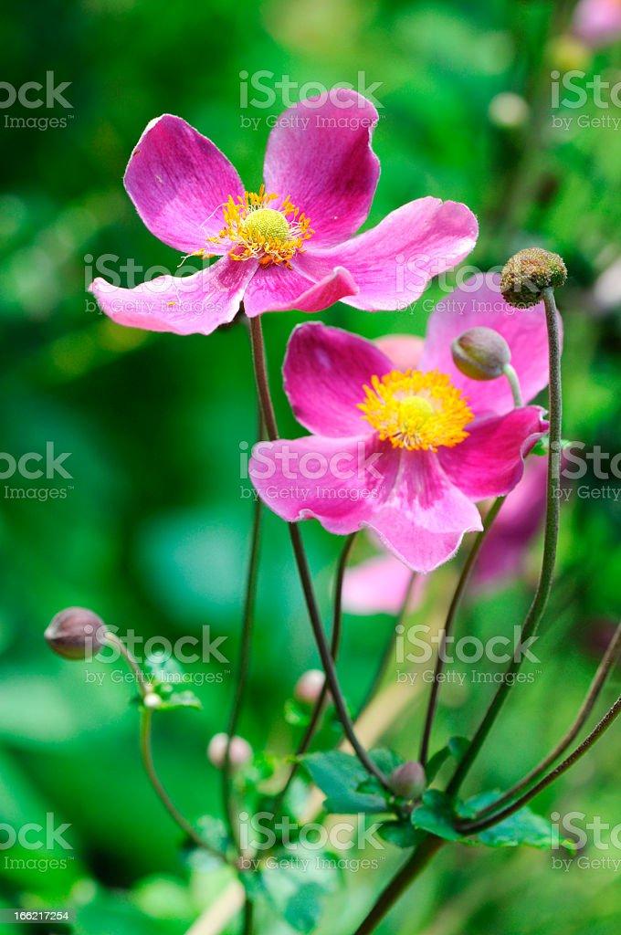 pink anemone flower (Anemone hupehensis) royalty-free stock photo