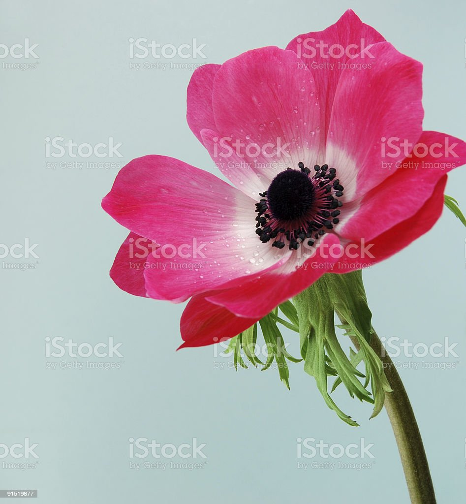 Pink Anemone Flower royalty-free stock photo