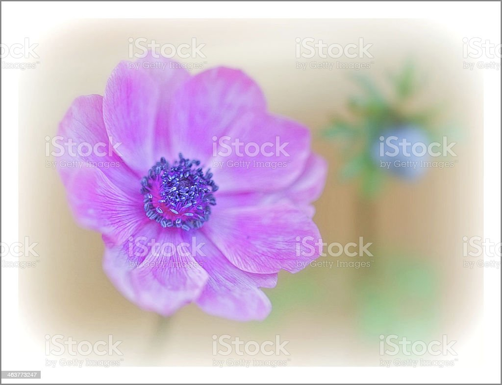 Pink Anemone royalty-free stock photo
