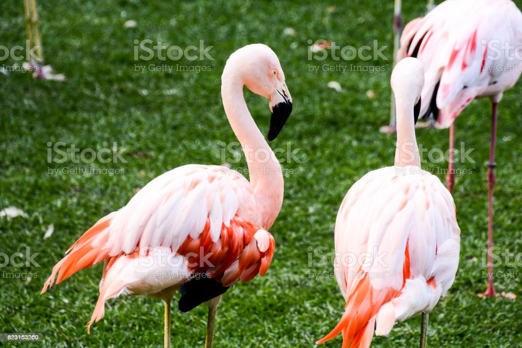 Photo Picture of Pink Animal Bird Wild Flamingo