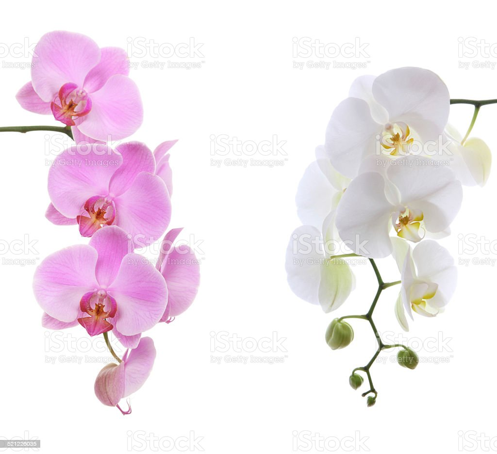 Pink ans white delicate orchid stock photo