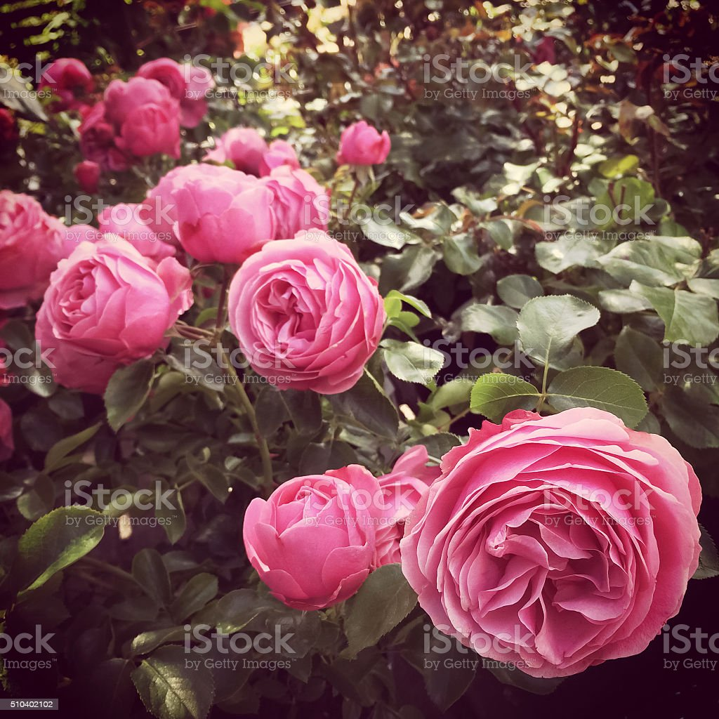 Pink antique roses in the summer garden stock photo