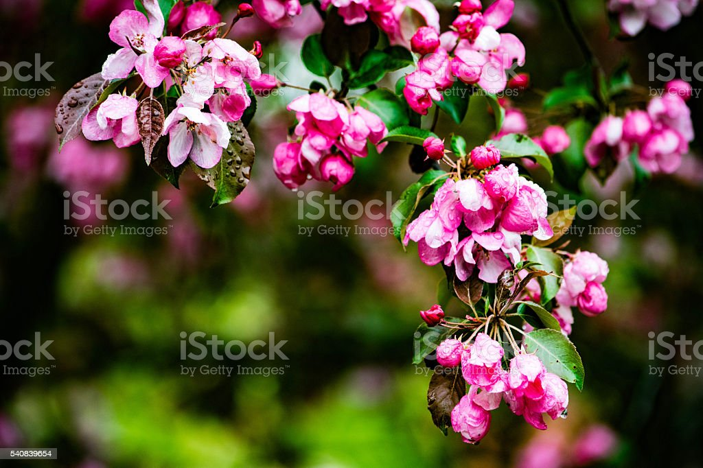 pink apple blossom upclose royalty-free stock photo