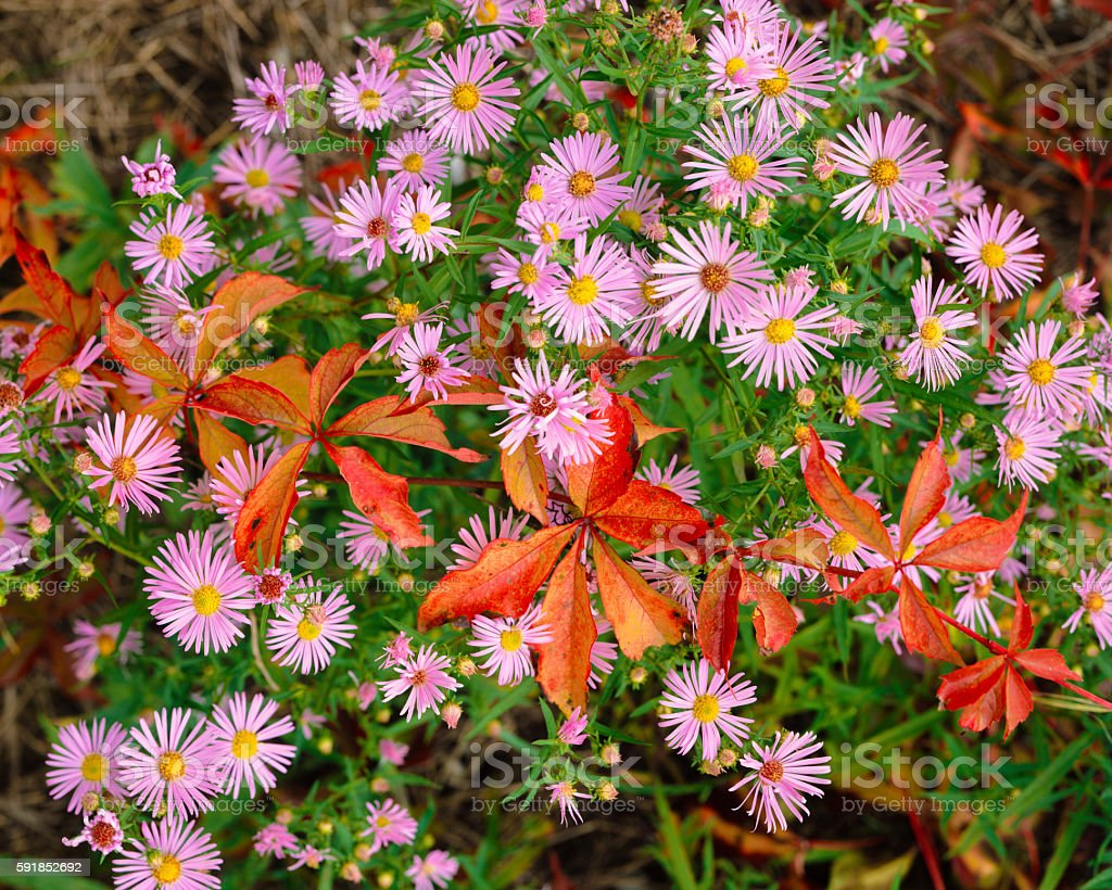 Pink aster blossoms with autumn colors Acadia National Park, MA stock photo