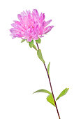 pink aster flower isolated on white