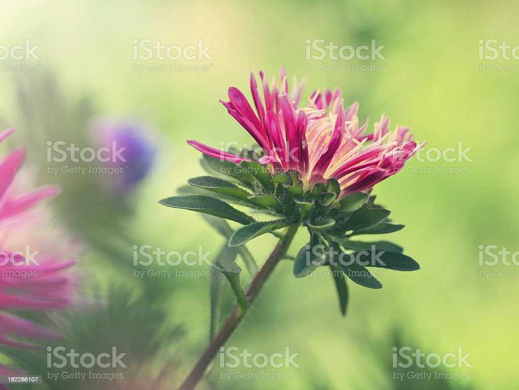 Pink Aster flower royalty-free stock photo