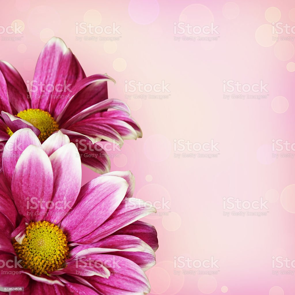 Pink aster flowers corner arrangement stock photo