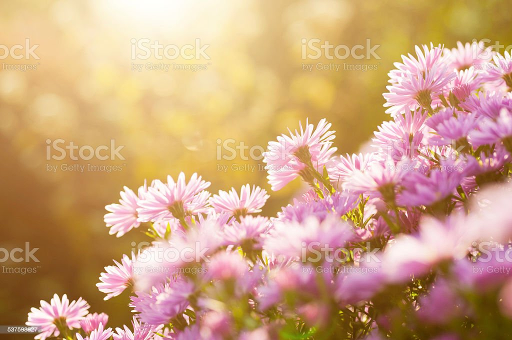 pink aster in backlit stock photo