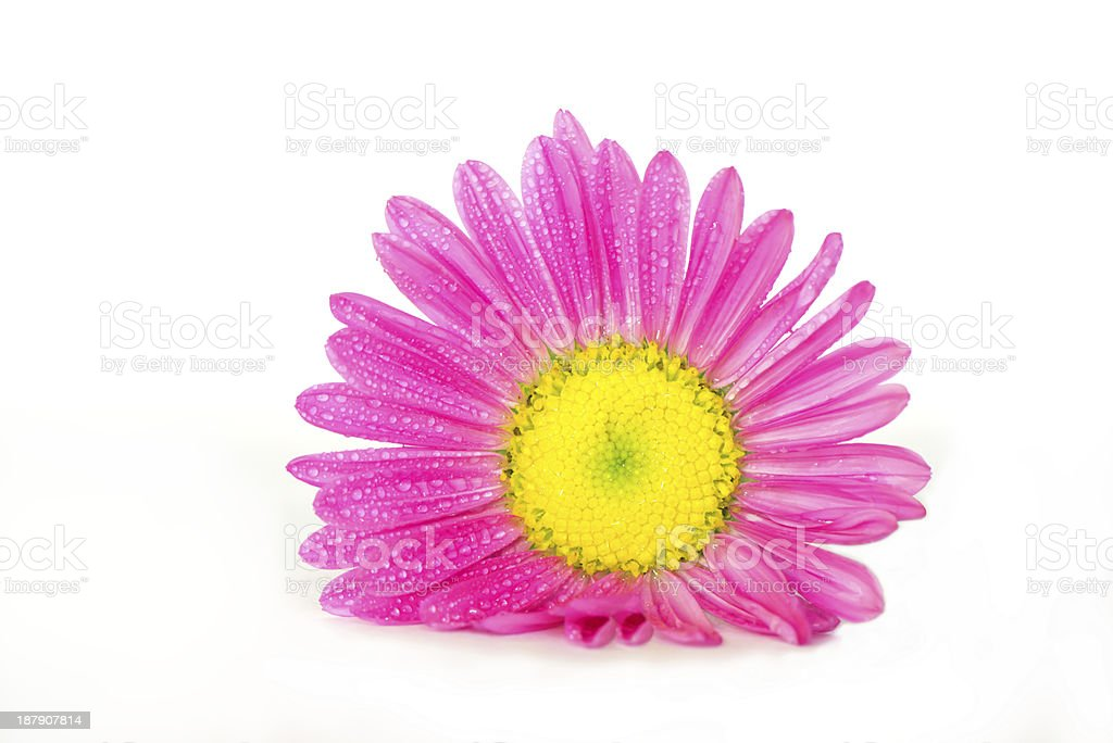 Pink aster on white royalty-free stock photo