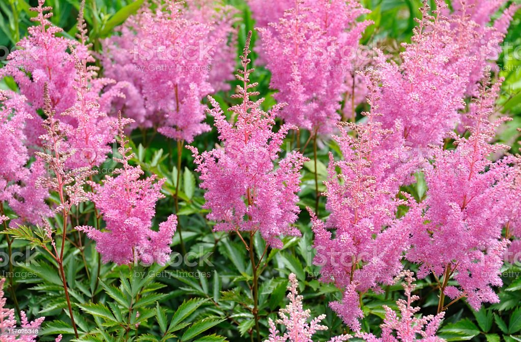 Pink astilbe royalty-free stock photo