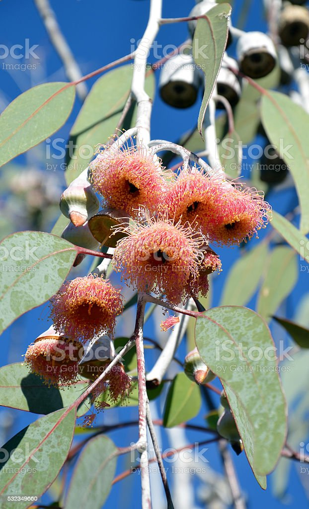 Pink Australian Gum tree blossoms and gum nuts stock photo