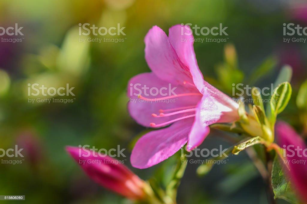 pink azalea flower and bud stock photo
