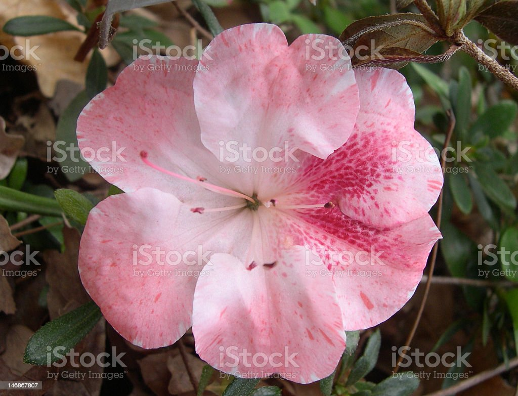 Pink Azalea Flower royalty-free stock photo