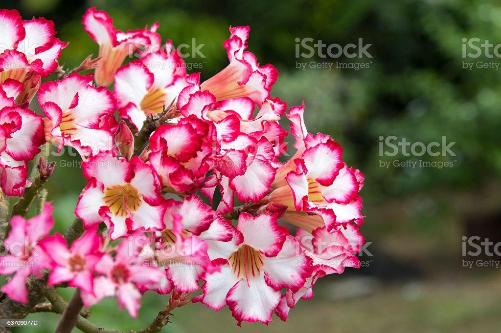 Pink azalea flowers to create a beautiful. stock photo