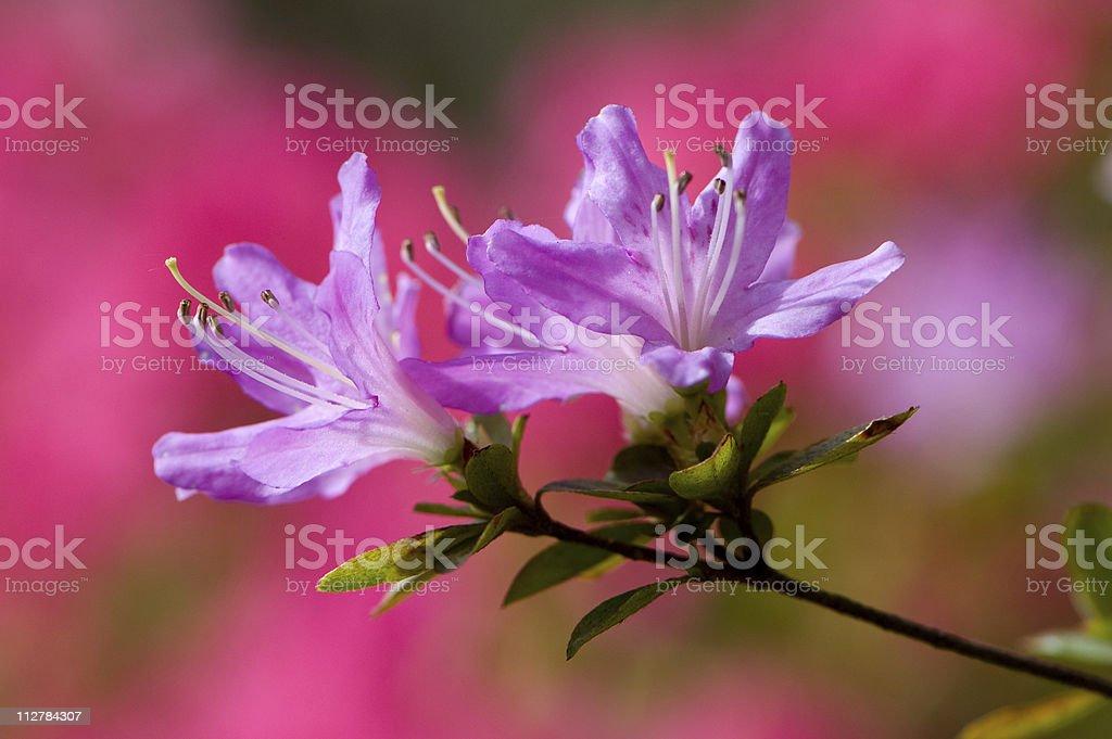 Pink azalea stock photo