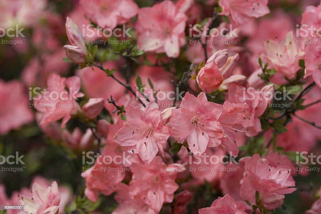 pink azalea royalty-free stock photo
