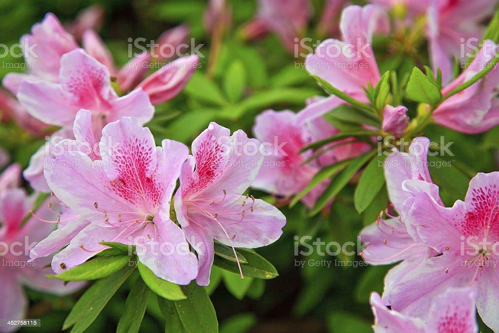 Pink Azaleas stock photo