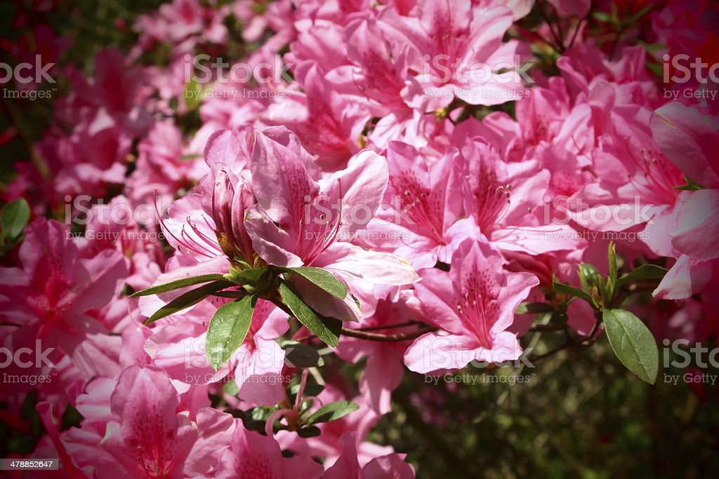 Pink azaleas stock photo