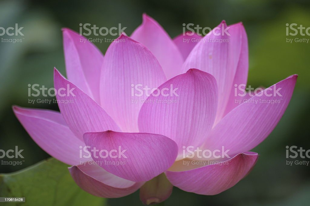 pink backlit lotus - largest collection stock photo