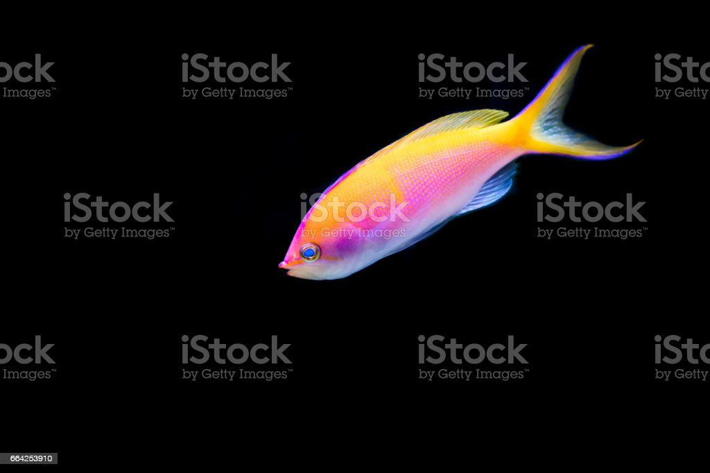 Pink Bartlett's Anthias with black background stock photo