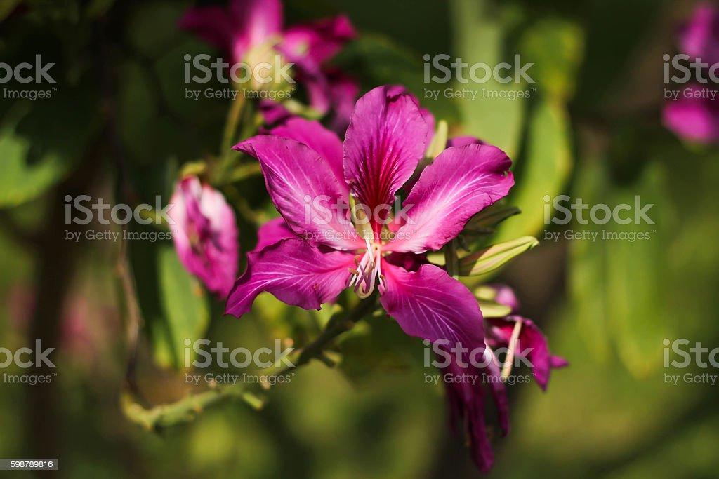 Pink Bauhinia royalty-free stock photo