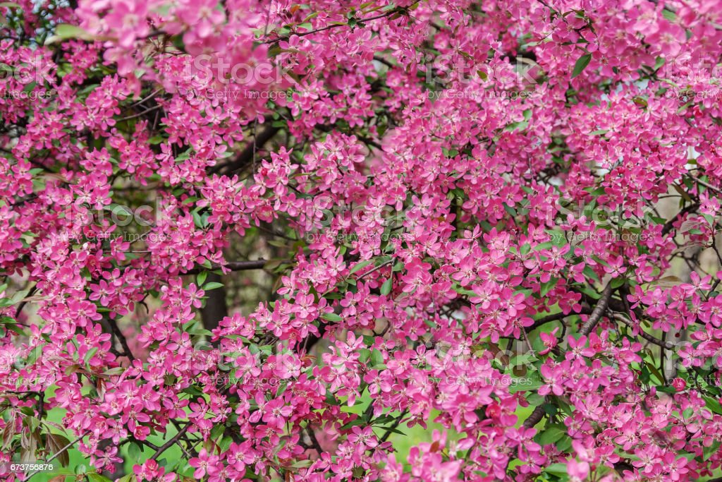 Pink beautiful tree flowers paradise apple tree on a background of juicy spring green grass stock photo