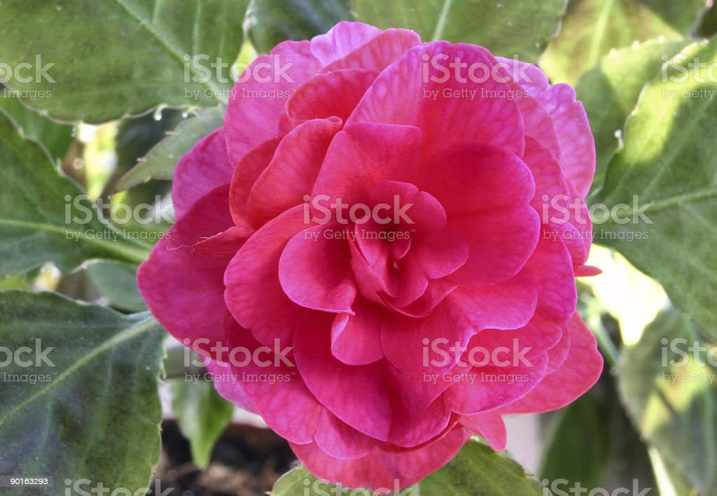 pink beauty #4 royalty-free stock photo