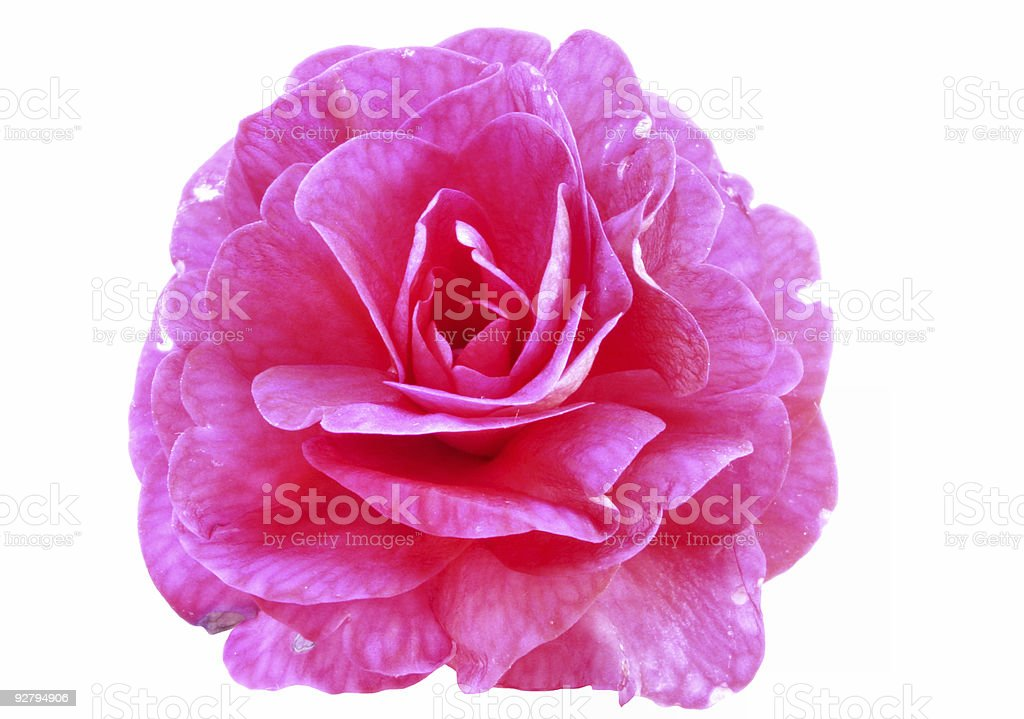 pink beauty royalty-free stock photo