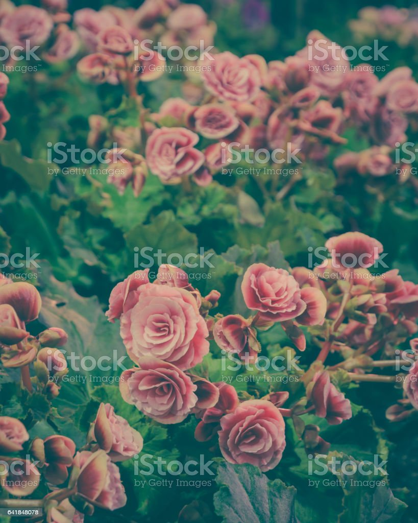 Pink Begonia blossoms in vintage soft filter stock photo