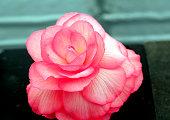 Pink Begonia flower.
