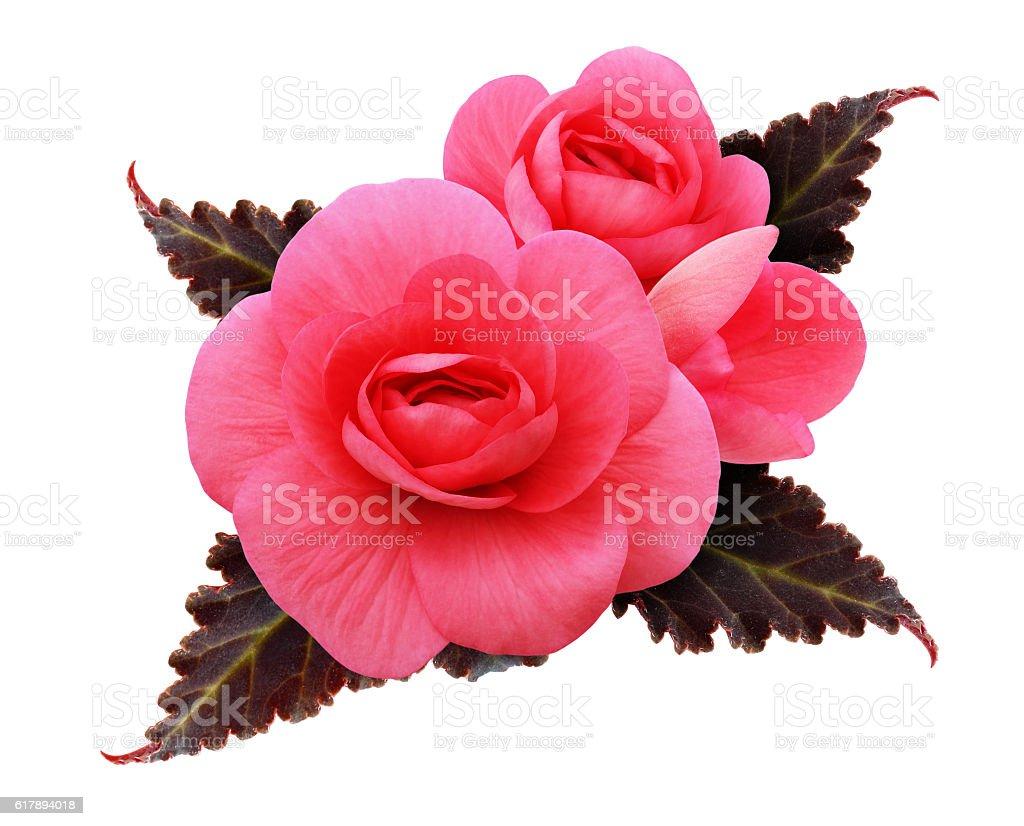 Pink begonia flowers arrangement stock photo