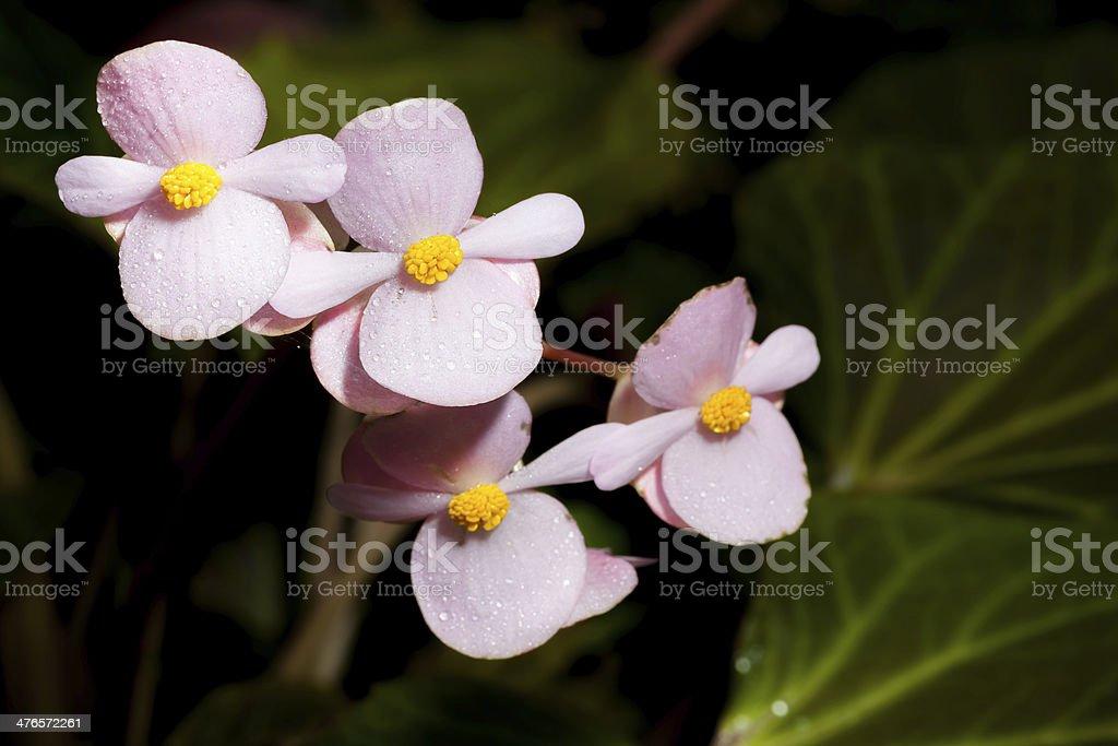 Pink Begonia Joe Hayden flower royalty-free stock photo