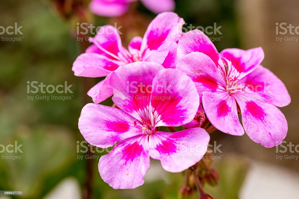 Pink bicolor geraniums stock photo