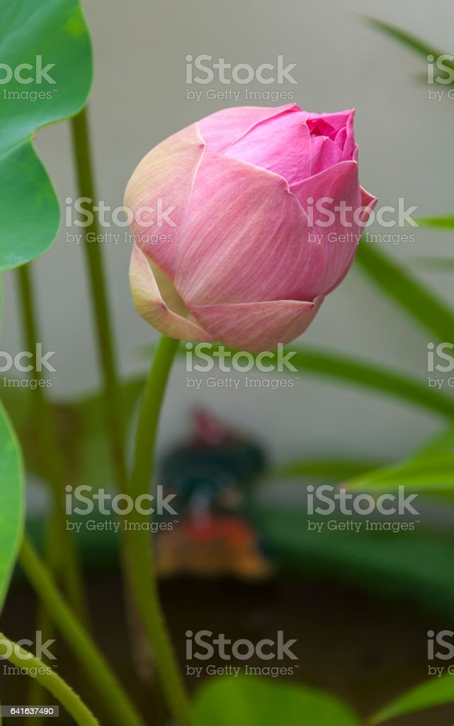 Pink big lotus in closed-up stock photo