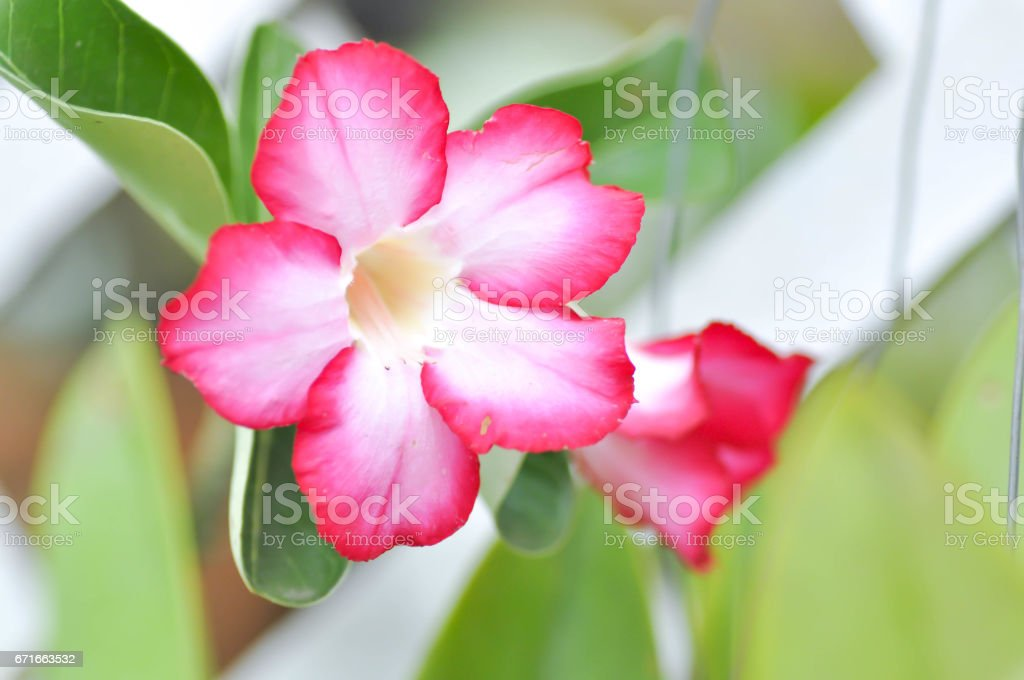 pink bignonia or desert rose stock photo
