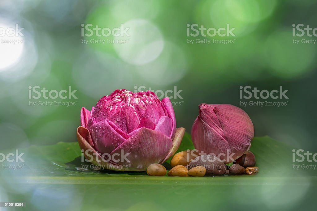 Pink bloom and bud water lilly stock photo