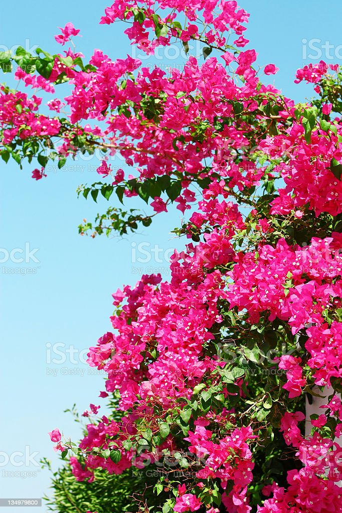 Pink blooming bougainvilleas against the blue sky royalty-free stock photo