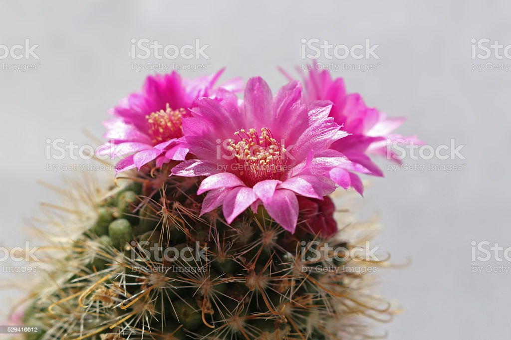 Pink blooming cactus plant stock photo