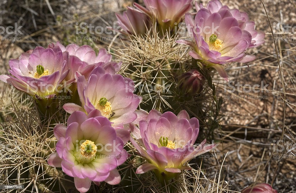 Pink Blooming Hedgehog Cactus royalty-free stock photo