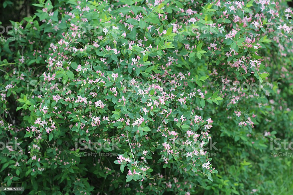 Pink Blooming Honeysuckle shrub stock photo