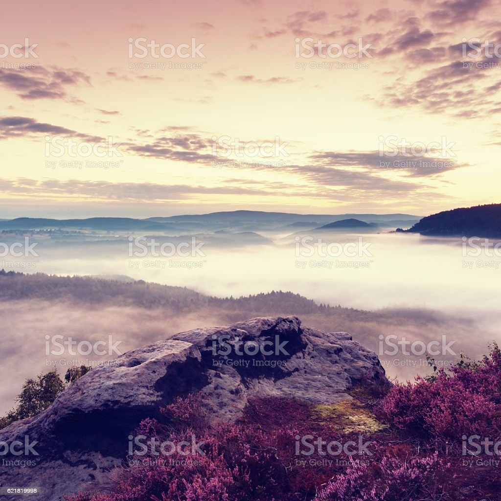 Pink blooming of heather bush on cliff. First autumn fog. stock photo