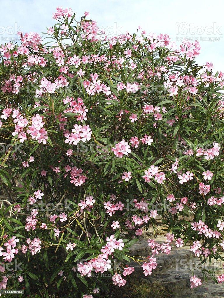 pink blooming oleander stock photo