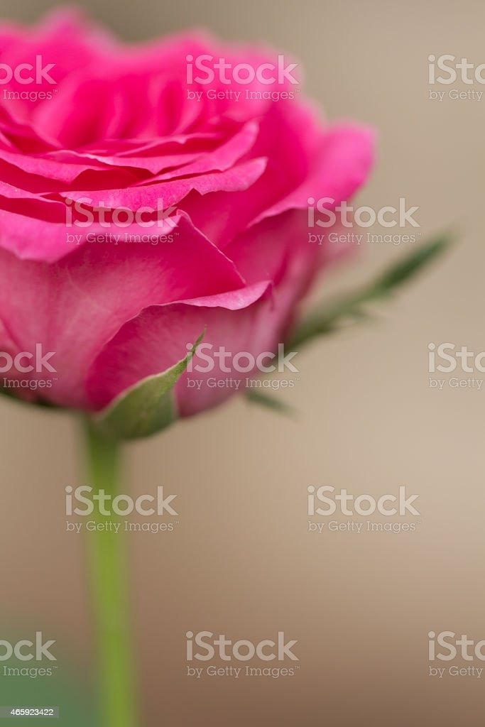 pink blooming rose royalty-free stock photo