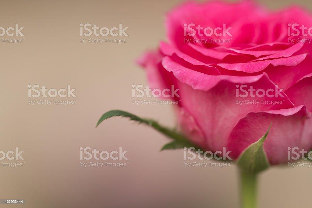 pink blooming rose royalty-free stock photo
