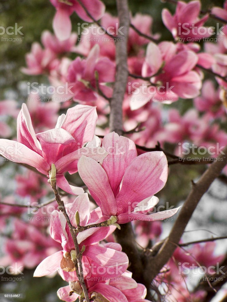 Pink blooming saucer magnolia tree outdoors in its natural environment royalty-free stock photo