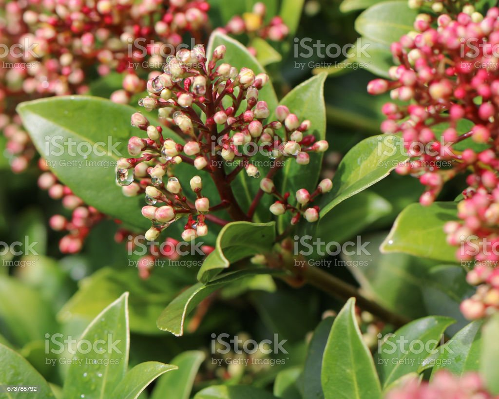 Pink blooming Skimmia Japonica stock photo