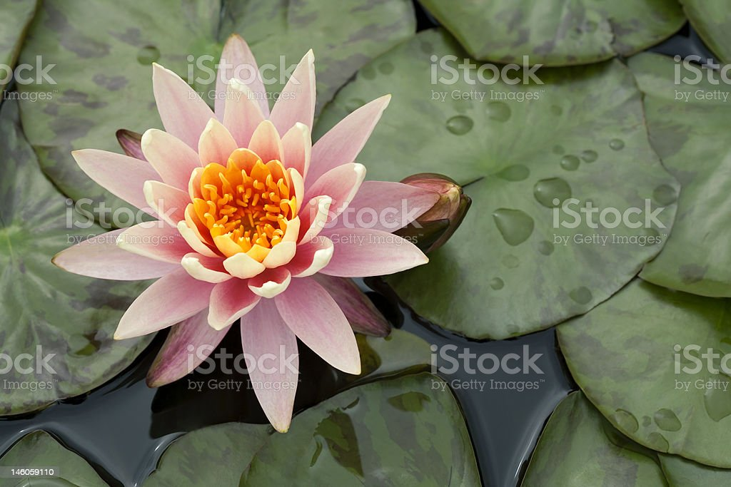 Pink blooming water flower royalty-free stock photo