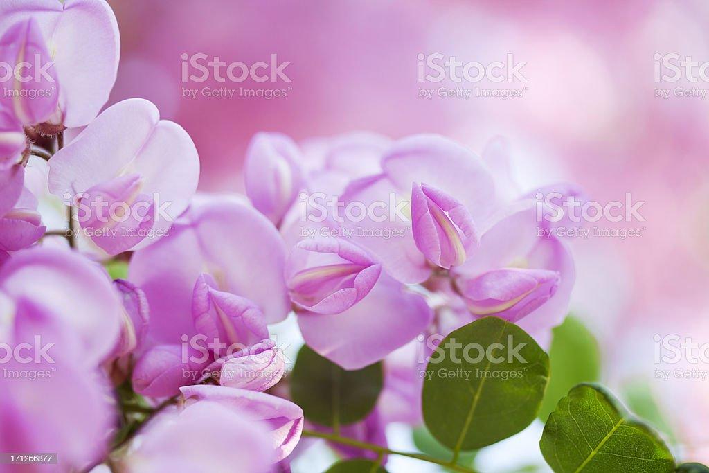 Pink Blossom Acacia stock photo