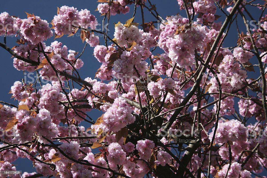Rosa fiore in primavera foto stock royalty-free