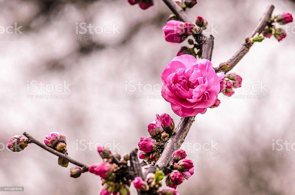 Flor rosa em beijing foto royalty-free